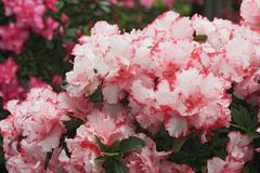 Azalea (rhododendron), full pink and white blossoms Stock Photos