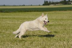 White shepherd dog (canis lupus familiaris) running across a meadow Kuvituskuvat