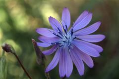 Common chicory (cichorium intybus), feldthurns, bolzano-bozen, italy Stock Photos