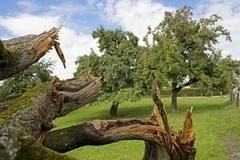 Storm-damaged plum tree (prunus domestica), sense district, canton of fribour Stock Photos