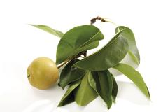 Nashi pear (pyrus pyrifolia) on branch with leaves Stock Photos