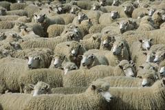 A herd of merino sheep (ovis orientalis aries), north island, new zealand Stock Photos