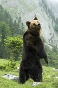 brown bear (ursus arctos), eng-alm alpine pasture, karwendel range, tyrol, au - stock photo