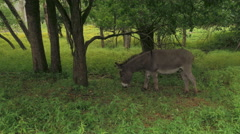 Wild Minature Donkey grazing in the wild Stock Footage