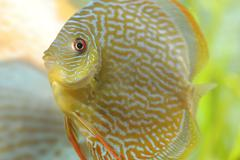 Snake-skin red, discus fish (symphysodon) Kuvituskuvat