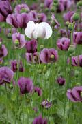 white albino blosom from violet field poppy (papaver rhoeas) in an agricultur - stock photo