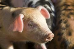 Piglets (sus scrofa domestica), on an organic farm Kuvituskuvat