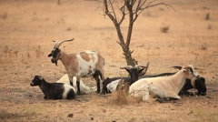 Stock Video Footage of Goats in the steppe.