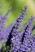 Lavender (lavandula angustifolia), provence, france Stock Photos