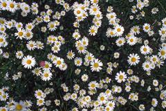 Daisies on a meadow (bellis perennis), tyrol, austria, europe Stock Photos