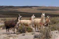 llamas, andean high plain, san antonio de los cobres, salta province, the and - stock photo