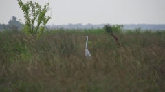 White egred between marsh grass Stock Footage