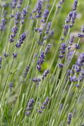 Lavender lavandula angustifolia Stock Photos