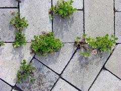 Stock Photo of clover between paving stones