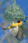 Stock Photo of african masked weaver, male, building nest, kruger national park, south afric