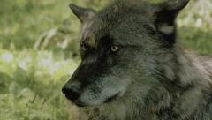 Dark Wolf in 4K UHD Stock Footage