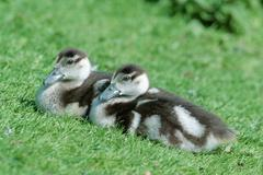 Stock Photo of egyptian geese, goslings, germany / (alopochen aegyptiacus)