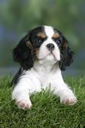 Cavalier King Charles Spaniel puppy, 8 weeks, tricolor - stock photo