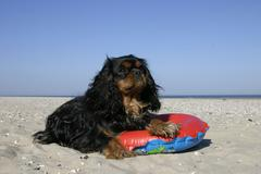 Cavalier King Charles Spaniel, black-and-tan, with swimming belt at beach - stock photo