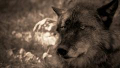 Tight shot of a black wolf Stock Footage