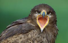 Steppe Eagle (Aquila nipalensis) - stock photo
