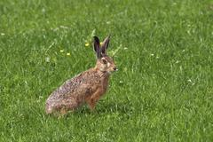 Common hare lepus europaeus sitting in a meadow Stock Photos