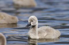 Black swan, chick (cygnus atratus) Stock Photos
