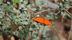 Butterfly Dryas Juia or the flying Dutchman Stock Footage