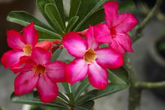 Desert rose adenium obesum Stock Photos
