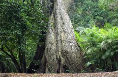Stock Photo of trunk of gigantic tree in the tropical rainforest amazonia brazil