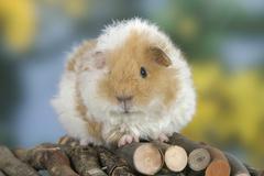 Texel Guinea Pig, buff-white - stock photo