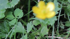 Buttercup Flower Macro Close Up Pull Focus Along Stem  Stock Footage