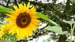 Sunflower - trees in background Stock Footage