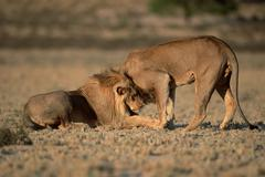 Stock Photo of african lions, males greeting each other, kalahari gemsbok park, south africa