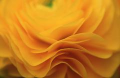 buttercup, blossom detail / (ranunculus asiaticus) - stock photo