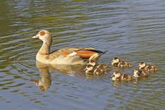 Stock Photo of egyptian goose (alopochen aegyptiacus) with chicks