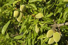 Green almonds, fruit on an almond tree, costa blanca, spain Stock Photos