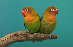 Fischer\'s lovebird, pair (agapornis fischeri) Stock Photos