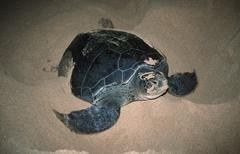 Stock Photo of green turtle after lying eggs, ascension, st. helena (chelonia mydas)