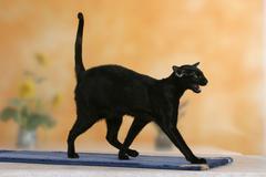 Oriental Shorthair Cat, black ebony Stock Photos