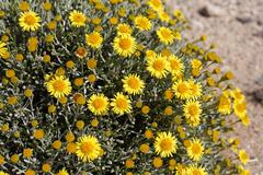 Fragrant oxeye ( nauplius graveolens = asteriscus graveolens ) fuerteventura Stock Photos
