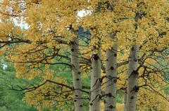 Quaking aspen in autumn, banff national park, alberta, canada / (populus trem Stock Photos