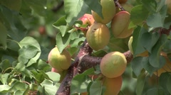 Unripe apricots on a branch Stock Footage
