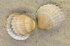 common european cockle shells (cerastoderma edule, cardium edule) - stock photo