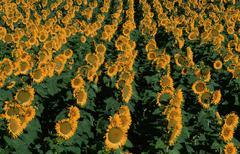 Sunflower field, tuscany, italy / (helianthus annuus) Stock Photos