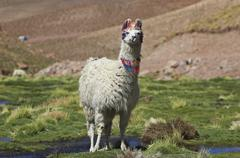 Llama in the highlands, atacama desert, northern chile, south america Stock Photos
