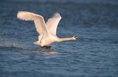 Stock Photo of mute swan, north rhine-westphalia, germany / (cygnus olor)