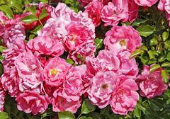Glorious roses Stock Photos
