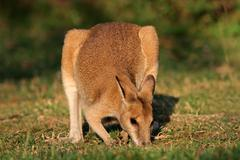 Agile wallaby Stock Photos