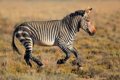 Cape mountain zebra running in grassland - stock photo